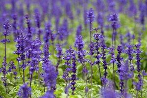 PHOTO: Lavender plants